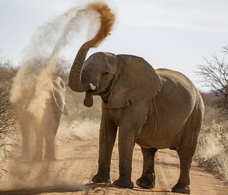 Elephant throws dirt onto its back in order thwart parasites 免版税图像