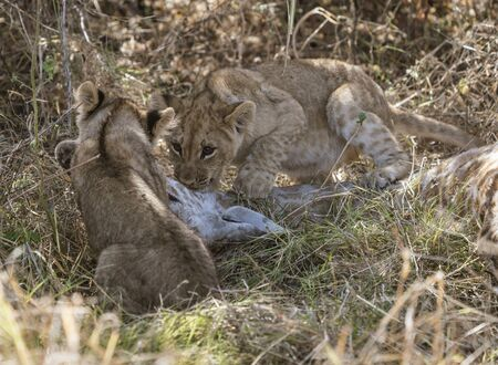 Lion cubs attempt to eat a giraffe killed by their mother in Botswana