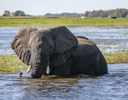 Adult elephant stands in river while drinking in Botswana