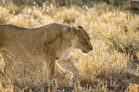 Female lion walks across dirt toad in Botswana