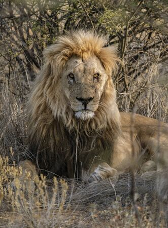 Adult male lion lies down in the short dry grass of Botswana 免版税图像