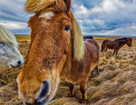 Icelandic Horses were bred specifically for the climate in Iceland 免版税图像