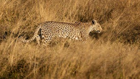 Leopard walks in short dry grass, stalking his prey in Namibia