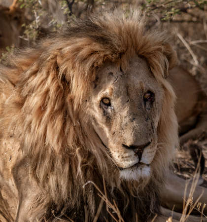 Adult male lion lies down in the short dry grass of Botswana Stock fotó