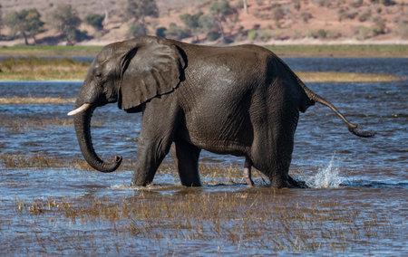 Elephant walks across marsh land in search of more food Stock fotó