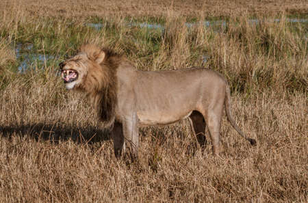 Adult male lion stands in short dry grass in Botswana Stock fotó
