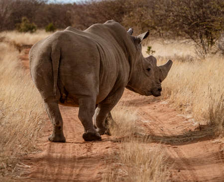 Single white rhinoceros stands on a dirt road in Namibia