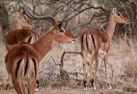 A male impala controls his harem of females in Namibia Stock fotó