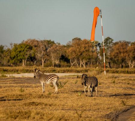 Two zebra walk along the airstrip, causing danger to landing planes in Botswana Stock fotó