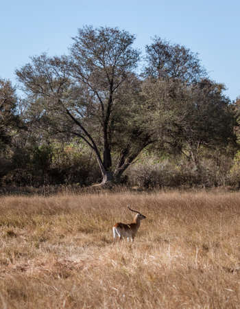 A lone male red lechwe is isolated from his herd and alone in Botswana
