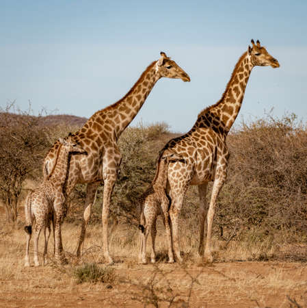Two baby giraffes each stand next to their mother in Namibia