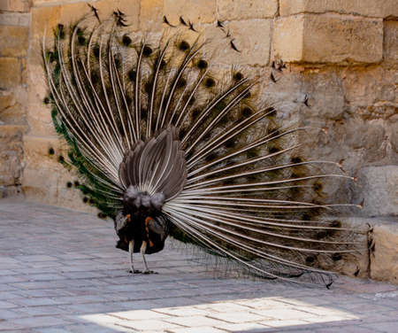 Peacock begins to expand its tail by shimmering and shaking until fully erect