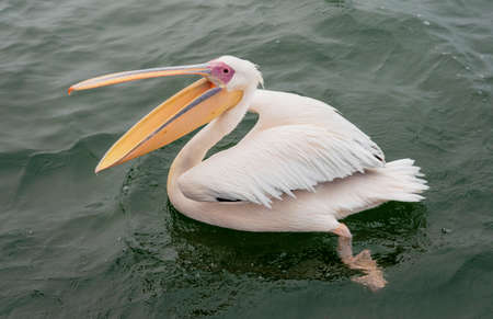 Great White Pelicans with their mouths open in Namibia