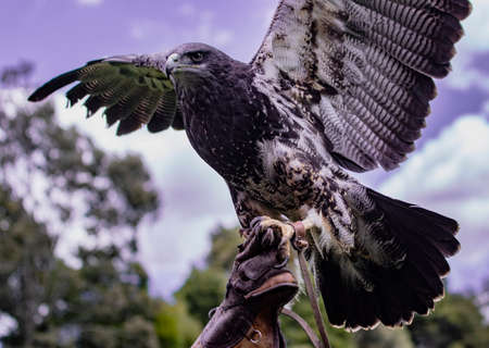 Black-Chested Buzzard-Eagle is held aloft by her trainer at a bird rescue center in Ecuador