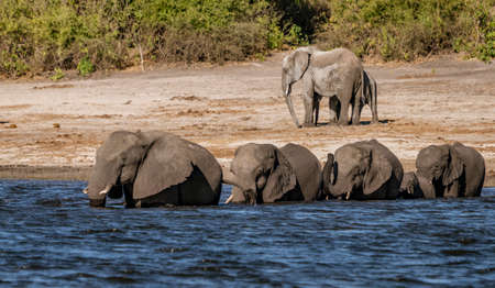 Family of elephants enters a river to find new food while lone elephant stays behind on shore