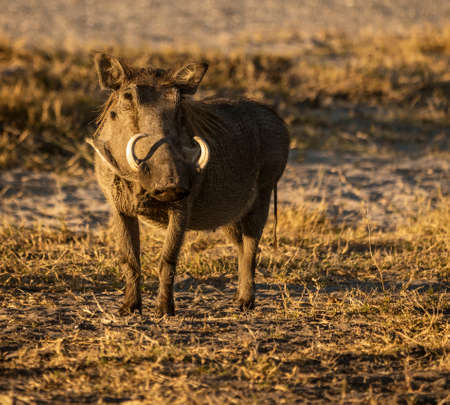 A single warthog looks at the photographer in Botswana