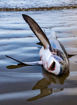 Dead shark lies on beach waiting to be processed in Puerto Lopez, Ecuador Stock fotó
