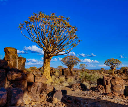 Quivertrees are unique to the deserts of Namibia