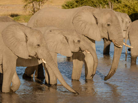 Family of elephants all drink from a local watering hole in Botswana Stock fotó