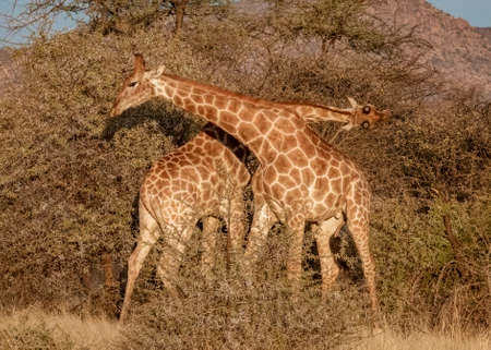Two young adult male giraffes fight by hitting each other in the rear with their horns, until one falls to the ground