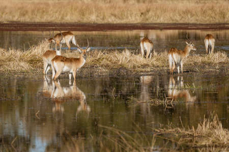 Impala often stand in knee-deep water when eating because it makes it harder for a predator to sneak up on them