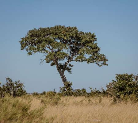 A Rain Tree sits alone in the desert of Botswana Stock fotó