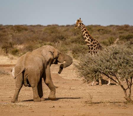 Elephant approachs a giraffe in Namibia, Africa