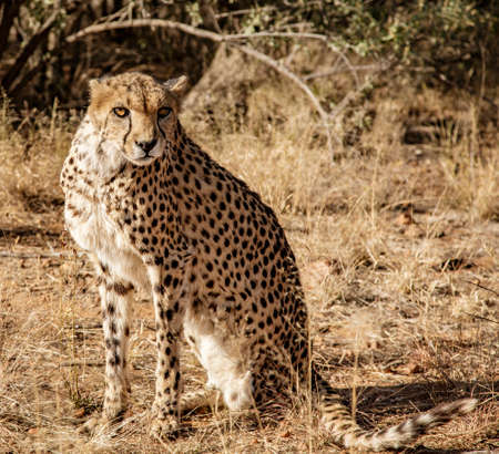 Cheetah sits on his haunches surveying his surroundings