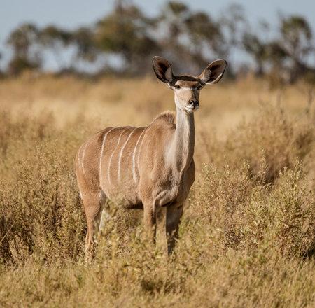 A lone female kudu looks at the photographer in Botswana