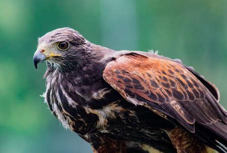 Close-up of immature Black-Chested Buzzard-Eagle head at a bird rescue center in Ecuador