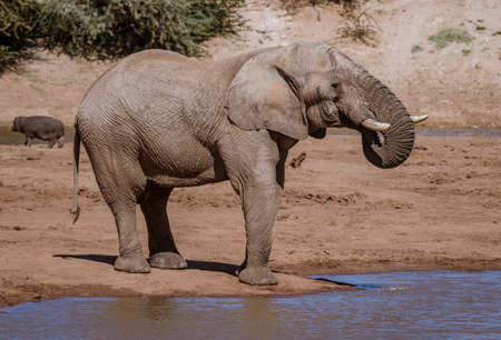 Elephant stands waters edge while drinking end of day