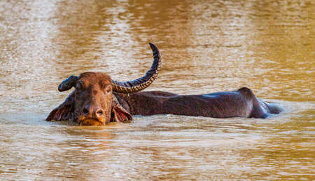 Water Buffalo With Only One Horn Sits in Water Up To Neck.