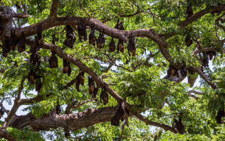 Large Bats Hang From Trees During Day From Trees in Sri Lanka. Foto de archivo