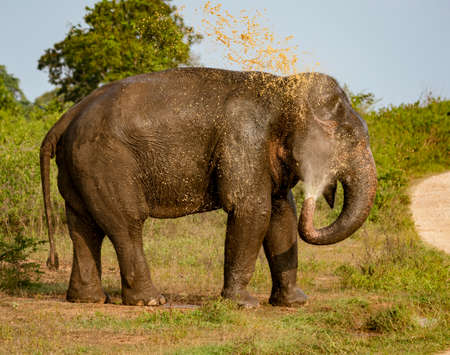 Elephant Sprays Muddy Water Onto Its Back.