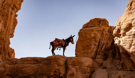 Lone Donkey Tied to Distant Ridge in Petra Canyon. Foto de archivo