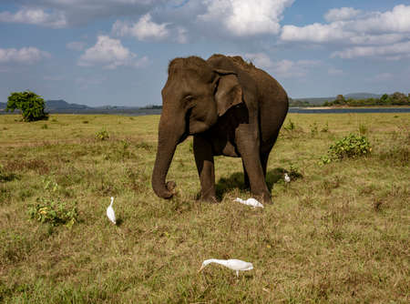 Elephant Eats Grass Surrounded By Egrets Picking Insects.