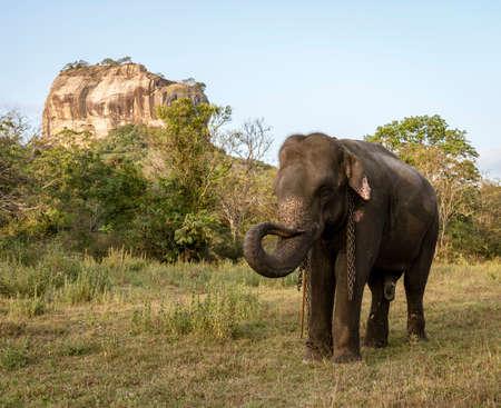 Elephant Stands in Front of Sigiriya Rock in Sri Lanka.