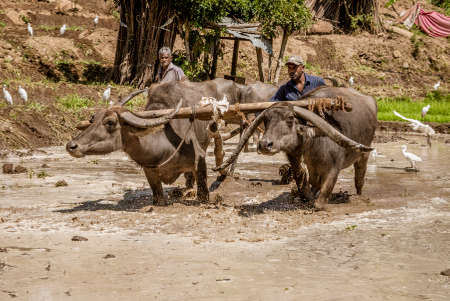 Uda Walawe, Sri Lanka - 2019-03-38 - Water Buffalo Works Rice Field for Planting.