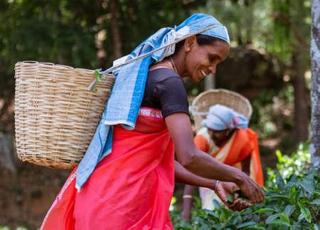 NUWARA ELIYA, Sri Lanka - Woman Picks The Tender Tea Leaves For Harvest.