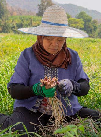 Phayao, Tahiland - 2019-03-09 - Woman Harvests Radishes.
