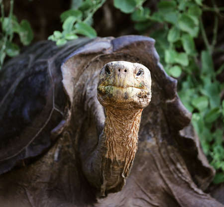 Galapagos Tortoise sticks his neck out to stare at camera on Galapagos Island.