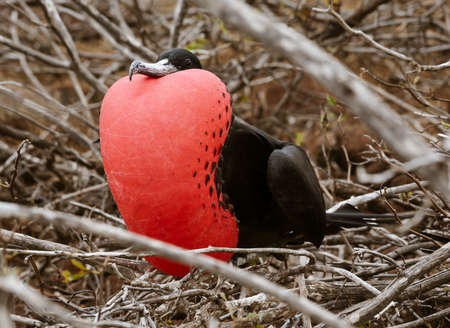 Frigatebird Male in Full Plummage on Galapagos Island. Banque d'images