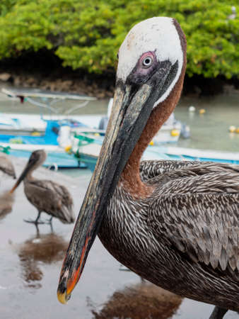 Closeup of Brown Pelican Standing on Beach.