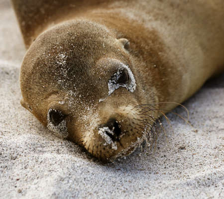 Baby Sea Lion Lies on Sand And Looks At Camera on Galapagos Island.