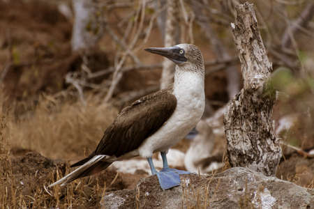 Blue Footed Booby Male Stands And Surveys His Terriroty On Galapagos Island. Banque d'images