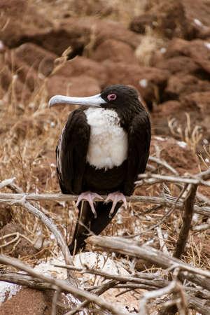Frigatebird Female Sitting on Branch on Galapagos Island.