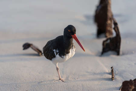 Oystercatcher Stands On One Leg On Beach in Galapagos.