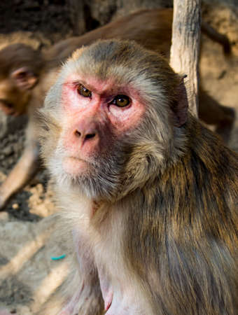 Urban monkey sits on wall, looking just off-camera in Dehli, India