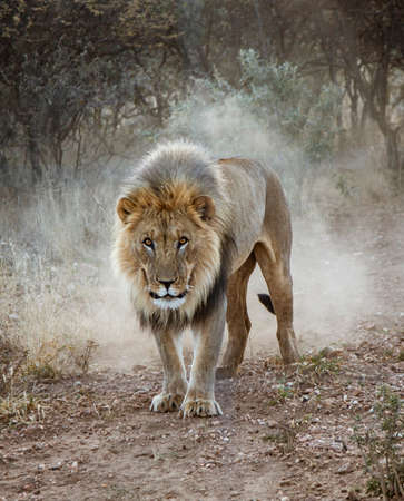 Large male lion walks in the desert in Namibia Stock fotó