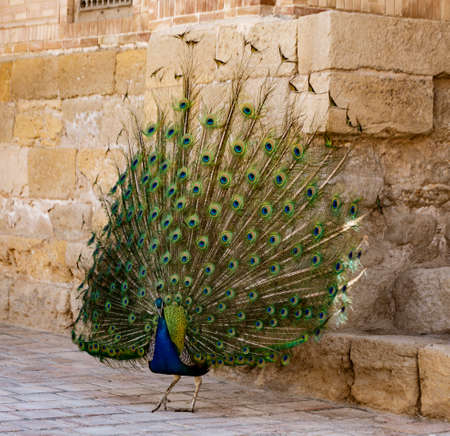 Peacock with tail in full display color Stock fotó
